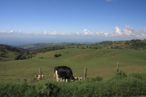 Cows grazing the Costa rican hillside